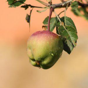 ¿Las bacterias de la manzana son buenas o malas? Depende de la manzana