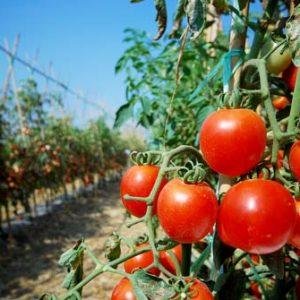 Las virtudes del tomate